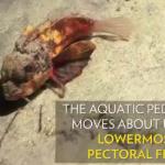 Il pesce che cammina