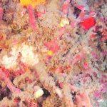 Un rarissimo corallo scoperto dai biologi marini dell'Arpacal nelle acque vibonesi