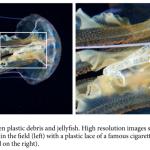 La scoperta di Armando Macali: le meduse mangiano plastica