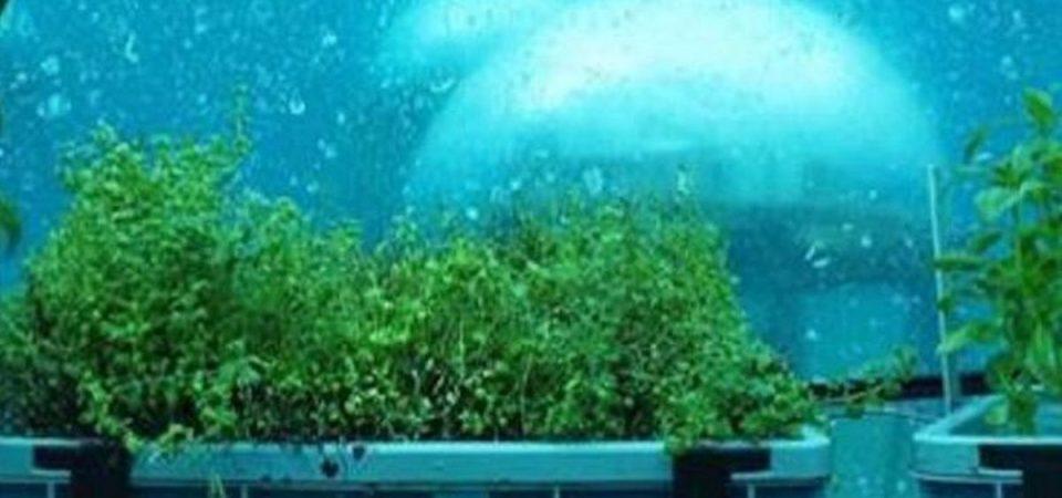 A Noli il basilico subacqueo è realtà